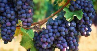 Uva Cabernet Sauvignon - A Rainha das Uvas - sortimentos.com